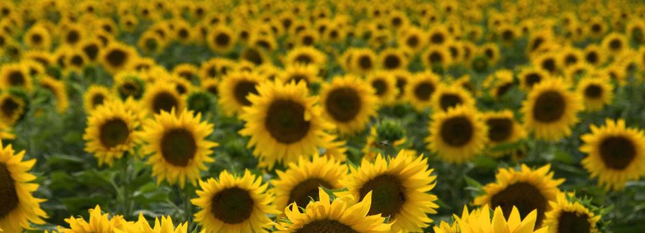 sunflower-slider_940x340